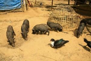 สัตว์เลี้ยงพวกนี้ ปล่อยหากินตามธรรมชาติ